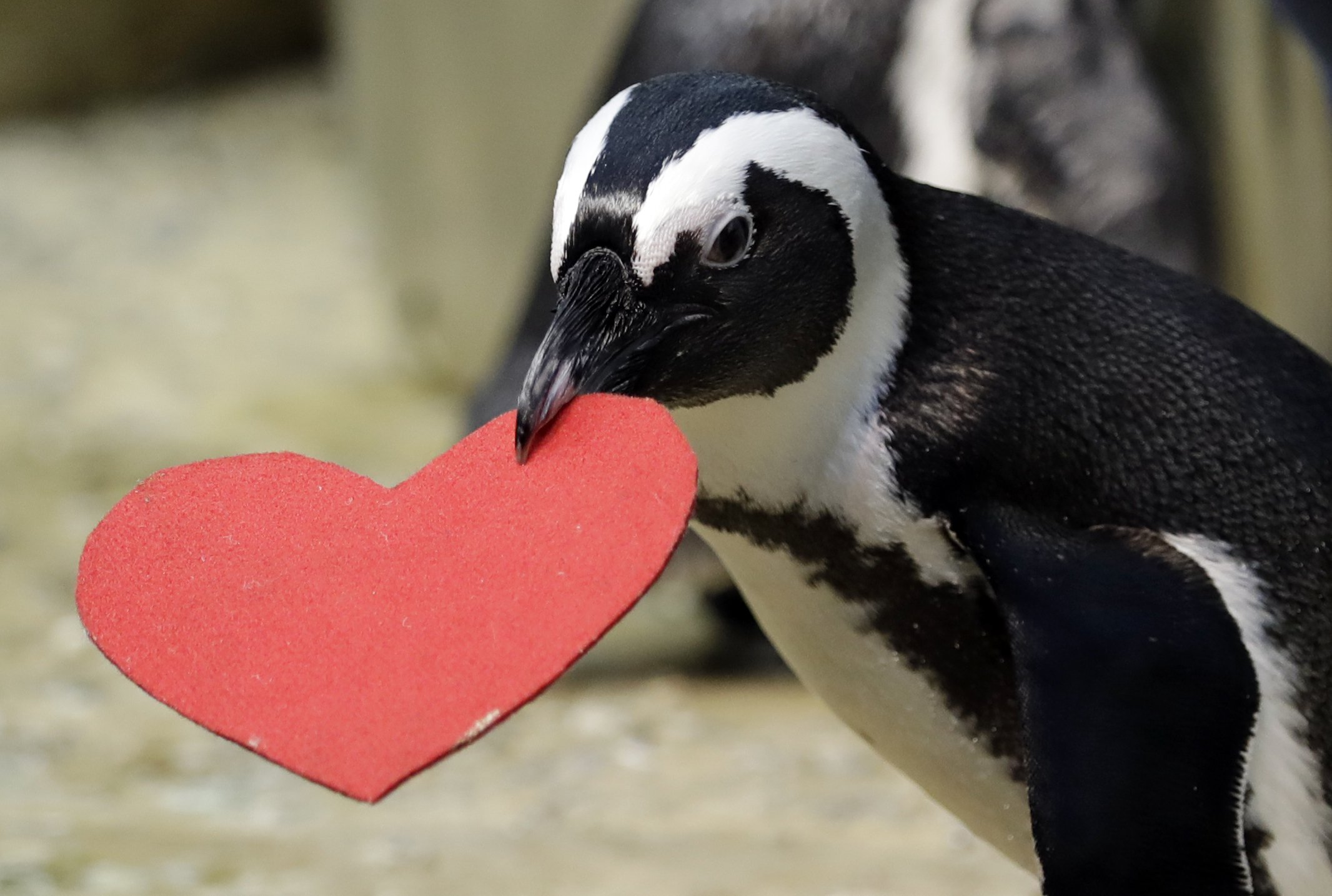 Penguins celebrate Valentine's Day by snoozing on felt hearts