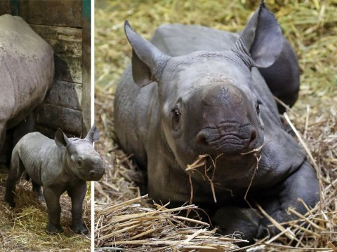 Adorable baby black rhino becomes 40th born at Kent wildlife reserve