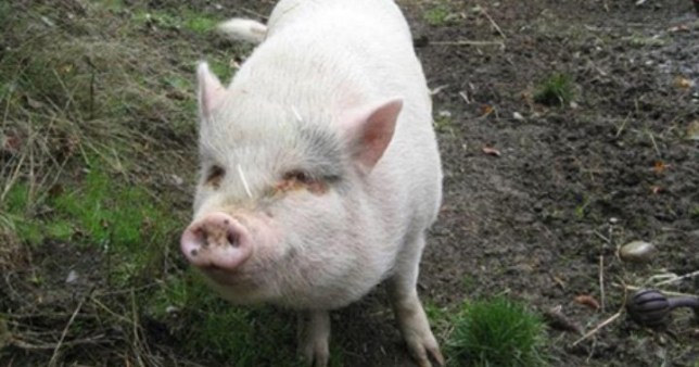Molly the pig was adopted from a rescue sanctuary only to be eaten by new owners