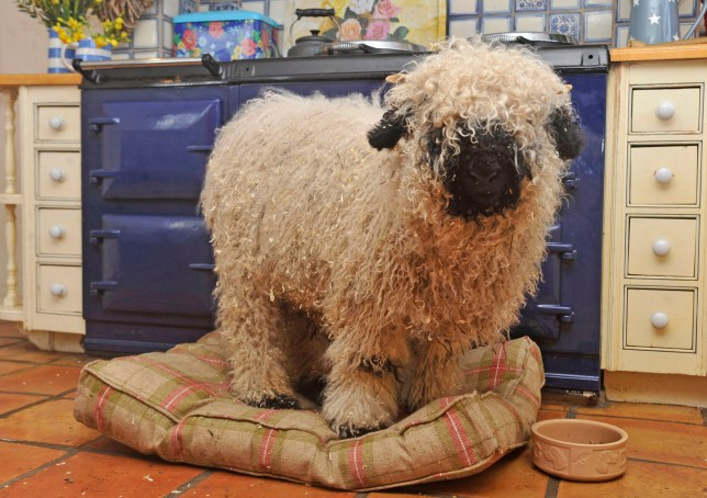 Ali Vaughan from Carlisle, Cumbria, has brought up Marley the sheep since it was a lamb in her house due to ill health when it was younger. Marley has adopted more traits of a dog due to spending so much time indoors with Jess the labrador. See ROSS PARRY story RPYSHEEP : Meet Marley the Valais Blacknose Valley sheep who is having lessons on how to be a lamb - because he thinks he is a DOG. Owners of the adorable orphaned six-month-old have had to get him a companian to show him some sheepish ropes because he doesn't even know how to eat grass. Marley, a Swiss breed which should usually more at home in the alps, is more accustomed to lying in a dog bed in front of the Aga, eating from bowls and going out for family walks. He also hates the wind and rain, much prefering to be inside with his family. But as Marley has quadroupled in size - growing larger than their labrador, Jess - mum-of-two Ali Vaughan is having to try move Marley outdoors where he belongs. 23 February 2018.