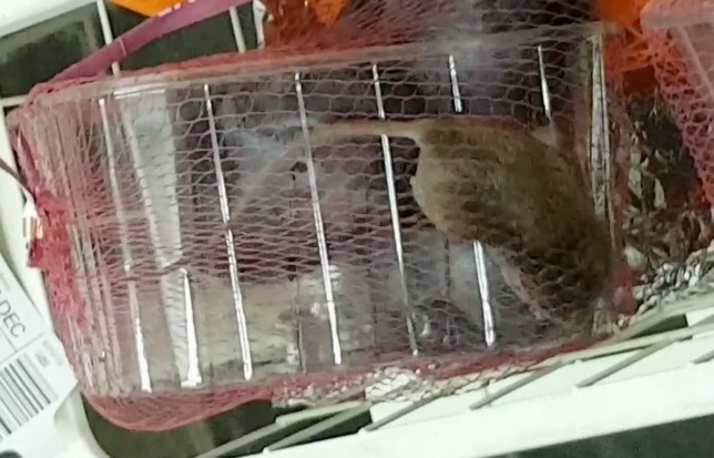 """Mother of two from Rochdale horrified to find a LIVE rat trapped inside a SEALED packet of Aldi plums (Pictured). See Ross Parry story RPYRAT; Salma Riaz, 32, and her husband, Kamran, bought the punnet of fruit but failed to spot the rodent curled up in the plastic container, covered with netting. ??But seven hours later they heard scratching and rustling coming from their fruit and veg stand - and discovered the pest. Salma said she was left """"baffled and shocked"""" and a video shows the tiny frightened animal BLINKING from inside the sealed package. In emails to Salma, Aldi?s serious complaints team said that punnets are all hand-picked in Italy, before being placed into the netting machine. After the punnets have been wrapped they are all individually weighed before been boxed by hand ahead of the three-day transit. Rochdale Council's investigation is still ongoing but they disclosed that pest control visited the store and found no issues with the store as well as the store not receiving any other complaints of a similar nature."""