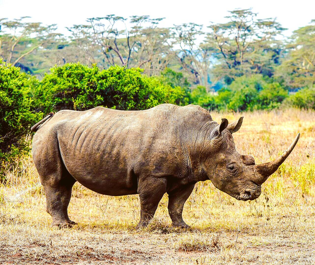 Officials seize 50 rhino horns worth $12 million from smuggling shipment