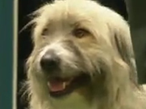 Very relatable dog has absolutely no idea what he's doing at Crufts