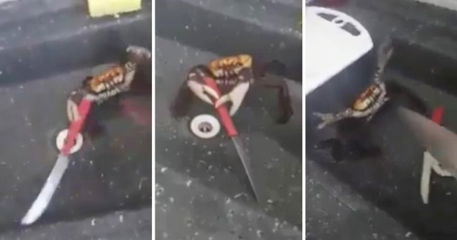 The heartbreaking real reason that crab is holding a knife