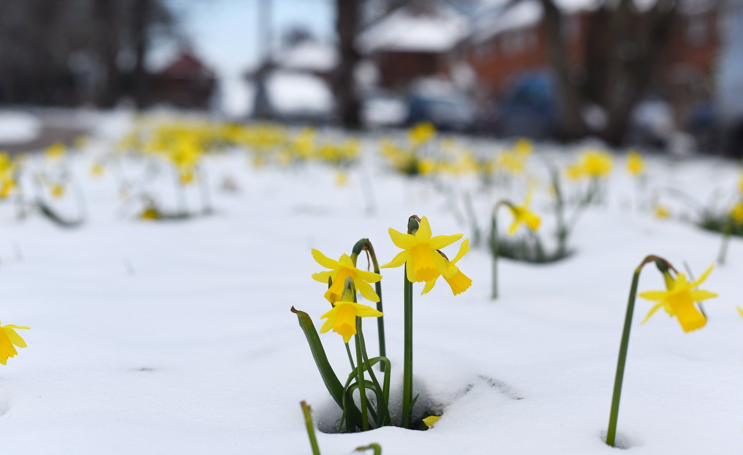 Snow weather input Snow in spring. PICTURED: Daffodils poke through the snow in Hamble in Hampshire. ? Zachary Culpin/Solent News & Photo Agency UK +44 (0) 2380 458800