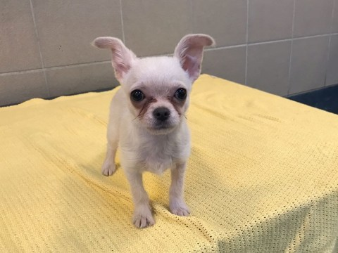 Tiny chihuahua abandoned in a towel in the park finds a loving home