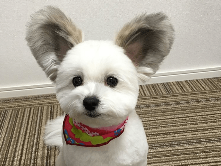 Please take a moment to appreciate this puppy with Mickey Mouse ears