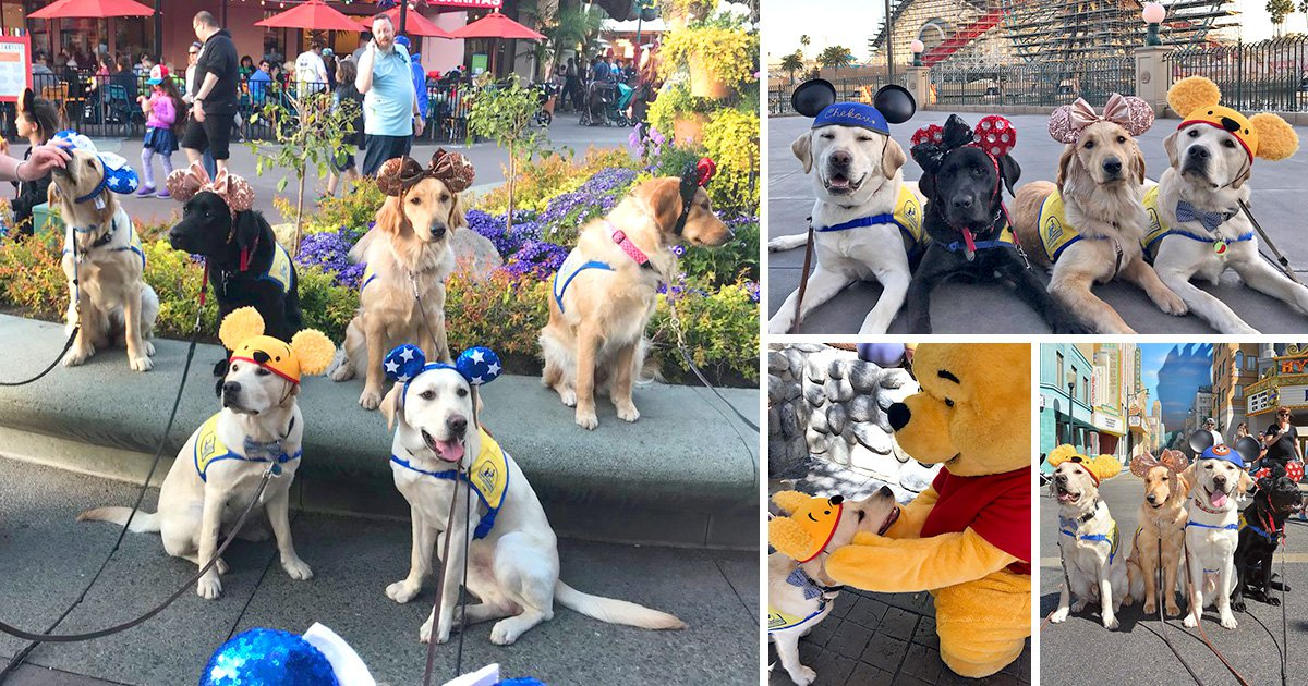 These service dogs had a day trip to Disneyland and it made us believe in happiness again