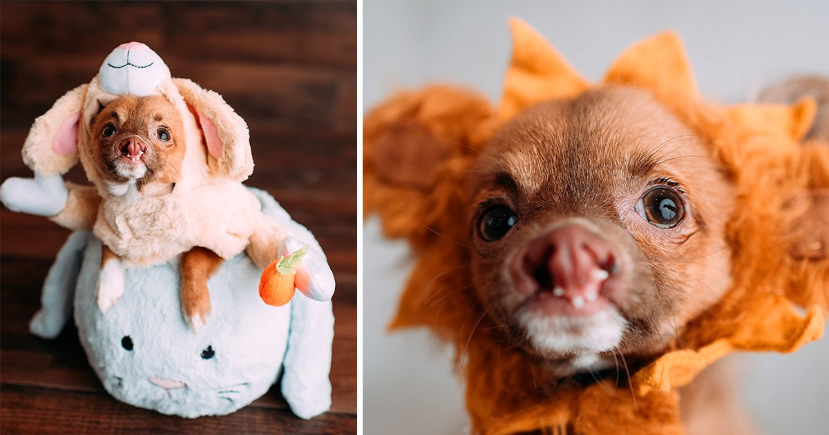 Chihuahua born with a cleft lip finally finds a loving home and family