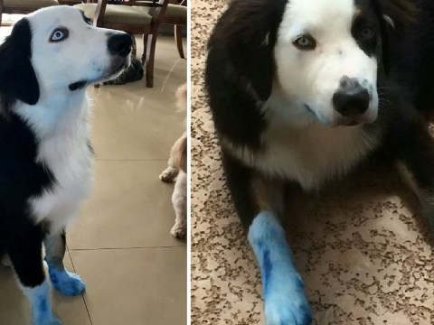 Dog caught blue-handed after walking around the house covered in ink