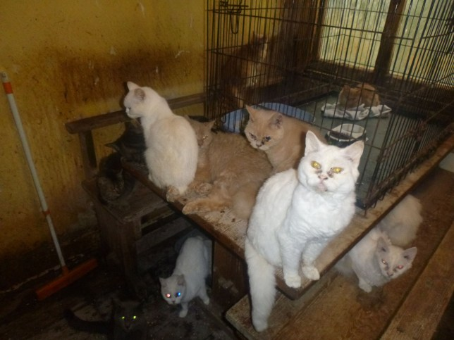 """The cats as they were found by RSPCA officers. Two pensioners have been banned from keeping pets for life after their 73 cats were found living in squalor - in just one room. See story SWCATS. Estranged couple David, 70, and Penelope O?Dell, 71, were also given suspended prison sentences after a court was shown a series of shocking images. The felines were so sick that several had to be euthanised.The court heard how the room inside the flat where the cats were kept was """"thick with fur"""", had 10 overflowing litter trays and smelt strongly of ammonia. RSPCA inspectors had to wear special masks to enter the property in Looe, Cornwall, as the conditions were so poor. In a report, a vet said that not only there were too many cats living in one area, 13 of them needed to have their teeth pulled out. Sixteen cats were so badly matted that they needed grooming under anaesthetic and 35 of the felines had mites or ear problems. Ten cats had severe eye infections including one which had a corneal ulcer and had to have its eye removed. And a Manx cat, Piri Piri, had a painful prolapsed rectum which a vet operated on twice but she was among 'a number' that had to be euthanized. The vet estimated that Piri Piri had suffered for about 46 weeks. The elderly pair were given a 14-week suspended sentence and banned from keeping pets for the rest of their lives after pleading guilty to charges at Bodmin Magistrates' Court on Thursday."""
