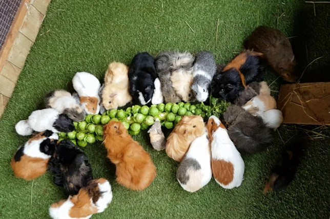 Pic by Caters News - (Pictured: The adorable guinea pigs eat the sprouts. Pic taken: 15/03/2018.) -Hordes of adorableguineapigs rush out for what seems to be their favourite snack time treat: sprouts. Forty-six of the fluffy little beasts rush out after realising whats on the days menu and gobble their way through the selection of sprouts.Their owner, Sophie Mason, 28, keeps her beloved pets in her home-built back gardenguineapigenclosure and loves to see them so excited over their food.SEE CATERS COPY
