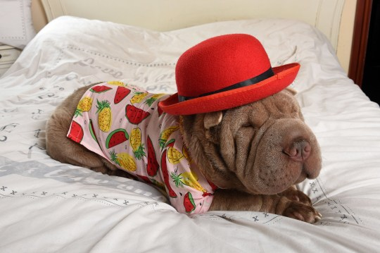 MERCURY PRESS. 12/04/18. Pictured: Jackson the Chinese Shar-Pei. This fashion-conscious pooch is a VERY smart boy who loves nothing more than to strut his stuff in tailor-made doggy clothing. Devoted owner Christine Anthony has splashed out ?1,000 on tailor-made shirts and pyjamas for her beloved One-year-old Chinese Shar-Pei Jackson. According to Christine, whenever Jackson sees her camera or a shirt being taken out he races onto the bed and is eager to put his best paw forward. The effect is impressive, with the lordly hound looking extremely dapper in an array of outfits. SEE MERCURY COPY. Photo Credit: Pete Goddard/Mercury Press