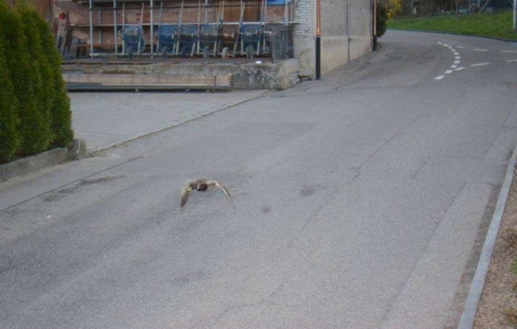 """Pic shows: The speeding duck caught on speed camera. This is the unusual traffic camera picture of a 'speeding' duck flying a whopping 13 mph over the limit. The picture was taken by a speed camera in Koeniz, a town in the Swiss Canton of Bern. The duck was flying at 52 kph (32.3 mph) in a 30-kph (18.6-mph) zone. The speed camera was likely triggered by the bird flapping its wings. Unfortunately, the municipality of Koeniz did not manage to find the duck's address. A municipality spokesman joked: """"It is unclear where the fine should be sent for flying too fast."""" It means the duck has had a lucky escape as drivers speeding by 13 mph in Switzerland would not only get a fine but face a criminal charge. Earlier this month, a German speed camera somehow captured a pooing dog on a lead instead of the speeding car behind it. The unusual suspect was caught by a speed camera in Moers, a town in the Western German state of North Rhine-Westphalia. The speed camera was triggered by the car behind the dog which was driving at 42 kph (26 mph) in a 30-kph (18.6-mph) zone. Instead of capturing the speeding vehicle, the camera pictured a person taking their dog for a walk. The picture shows the dog on a lead while doing a number two on the pavement. A police spokesman said: """"Whether the heap was cleaned up is not known to us."""" The police did not report if they managed to get a clean snap of the car's licence plate which is required for a speeding ticket. In 2016, a galloping horse and its rider were caught on camera on a forest road in the Eastern German state of Brandenburg when the speed trap caught the one-horse-power animal travelling at 43 kph (26.7 mph). As is customary in Germany, the police enlarged the face of the perpetrator and marked it in a box on the picture. A police spokeswoman said that no penalty was given at the time and noted that the horse in any case had no licence plate to track it down. In June 2014, police in the German state of Hesse captu"""