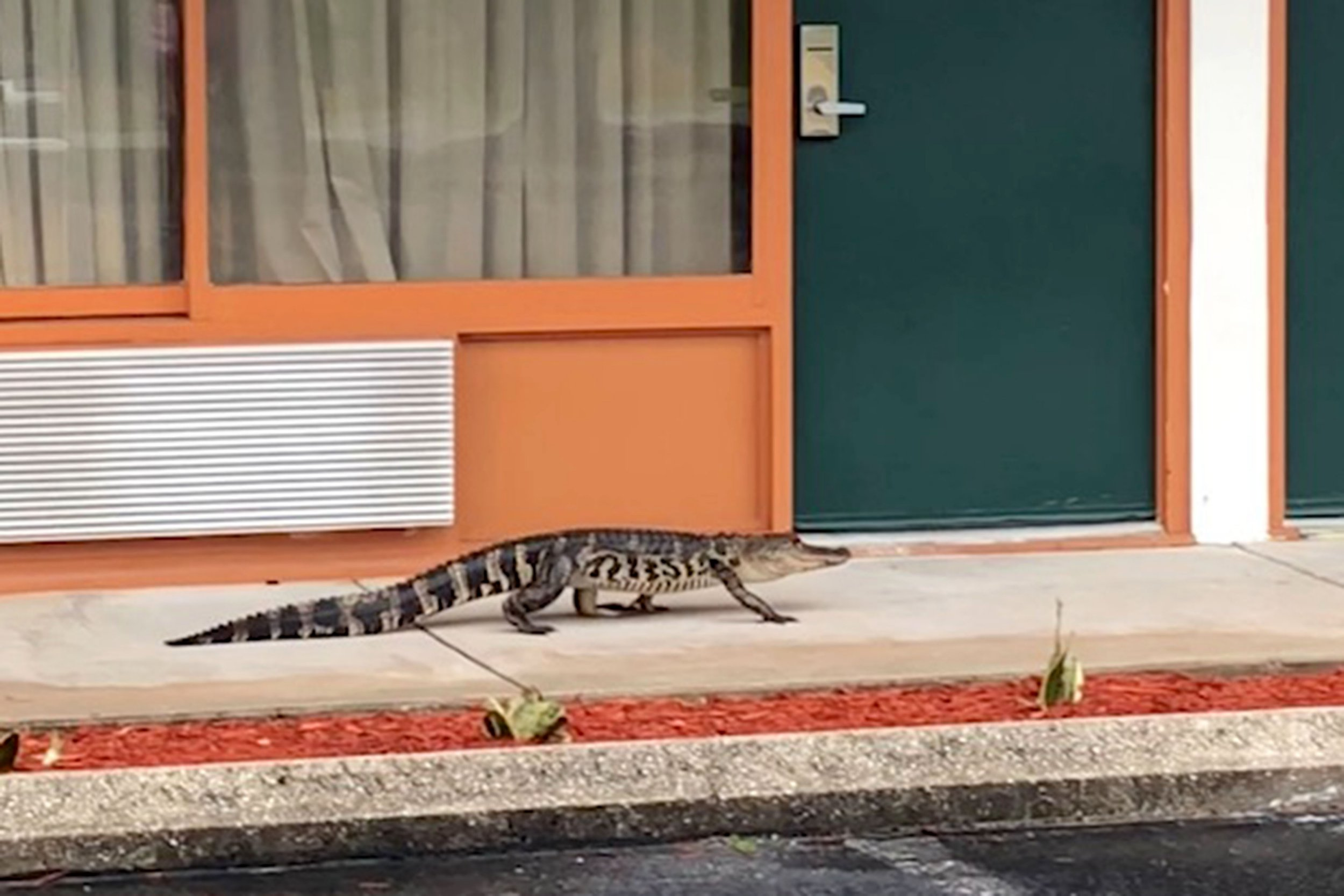 PIC FROM Caters News - (PICTURED: The alligator that was spotted walking through the Quality Inn in Sebring, Florida, before being cornered by a licensed trapper and taken away.VID TAKEN ON 15/04/18) - AN ALLIGATOR has been filmed on a casual stroll through hotel grounds in Florida.The reptile was captured on camera on Sunday appearing to make his way to a room before being apprehended by police.The five foot long gator appeared to have wanted night at the Quality Inn in Sebring. Police joked he may have been looking for the tiki bar.The clip shows the alligator making its way past a row of hotel rooms before turning to head down another hallway.SEE CATERS COPY