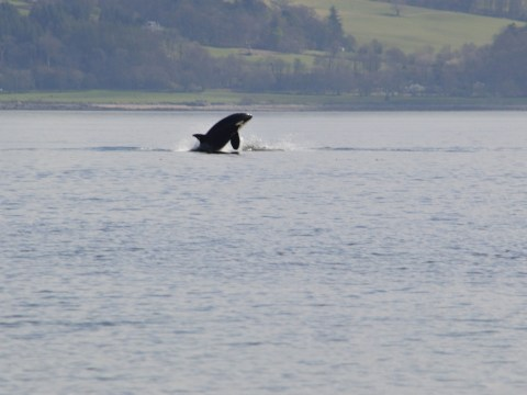 Killer whales spotted 'putting on a show' for ferry customers in Scottish river