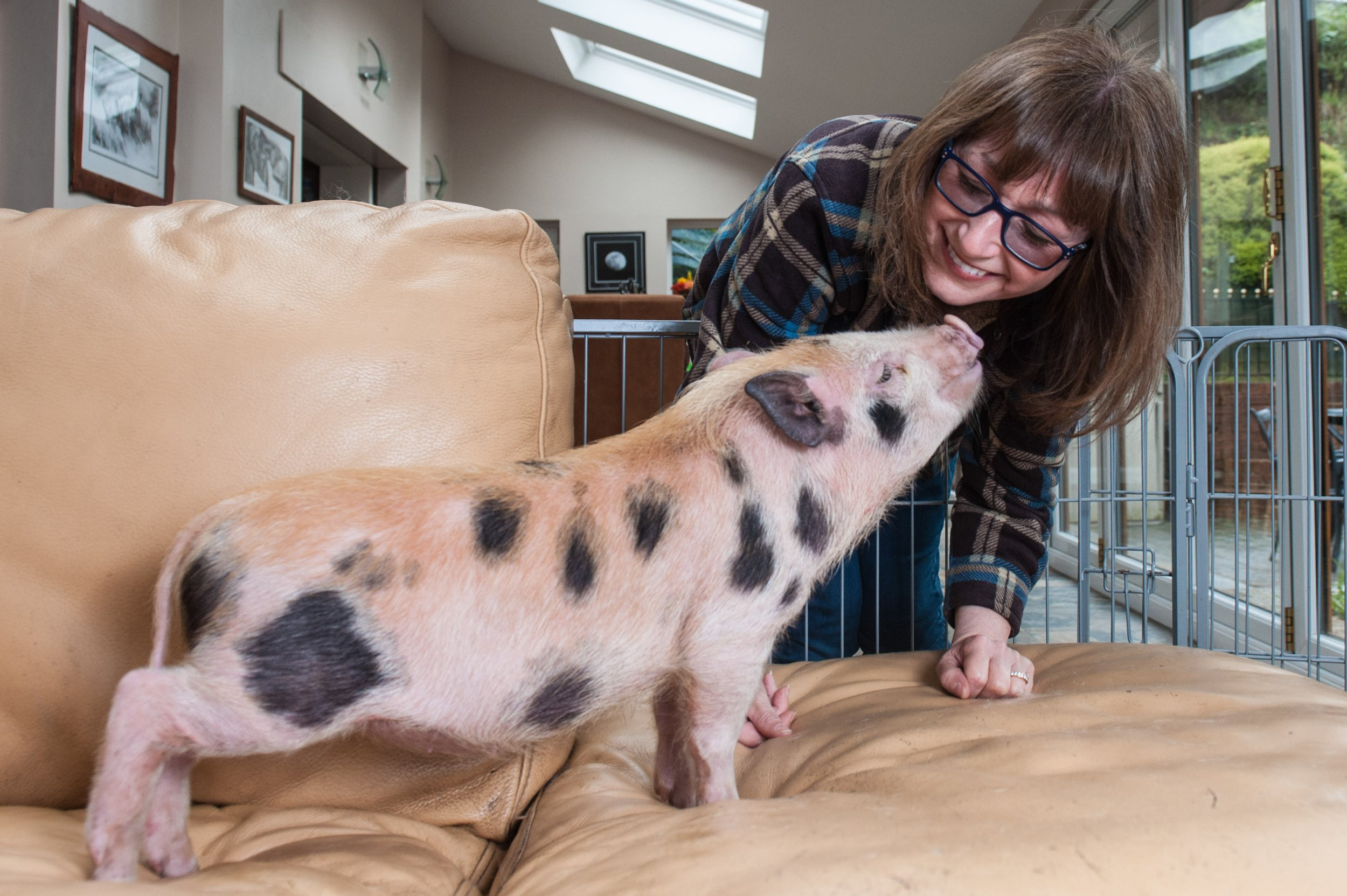 MERCURY PRESS. 26/04/18. Rochdale, UK. Pictured: Piglet Ollie is the size that most micro pig owners assume their new pet to stay at, unfortunately this is not the case at all. Ollie was rescued from Leeds on 31st March, from being bait in a dog fight. A pig sanctuary owner has been forced to take in over 100 micro pigs after owners ditched them when they discovered they grew to full-size. Janet Devereux, the founder of Pig Inn Heaven sanctuary, says there is no micro in micro pig after seeing dozens of people duped into thinking they were buying the tiny animals. In her saddest cases she has come across a small pig that was being sold in a pub for dog fights and another which was being starved to death to stop it growing. Janet set up her sanctuary in 2007, the same year that Paris Hilton was pictured carrying a pig in her handbag when she realised they might become a problem. SEE MERCURY COPY