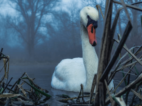Can a swan break your arm?