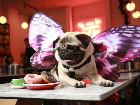 An 'all you can pug' brunch is coming to London and Liverpool