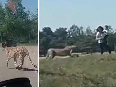 Family chased by cheetahs after getting out of their car at safari park