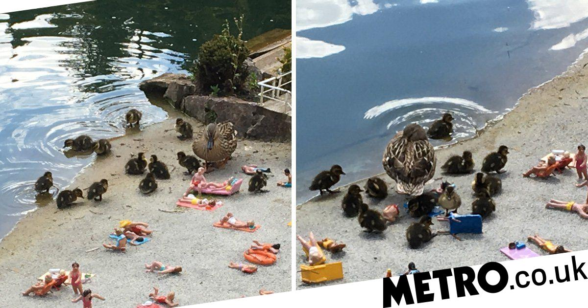 Miniature village gets taken over by a family of ducks
