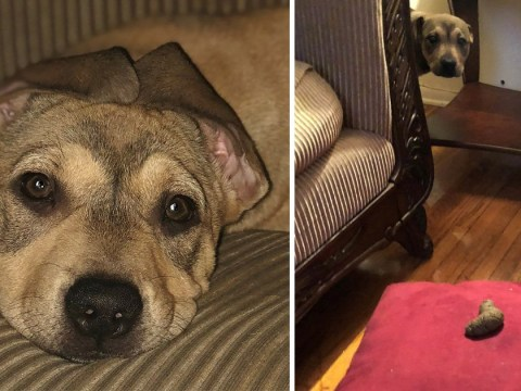 Dog's face after owner finds poo on favourite cushion can mean only one thing