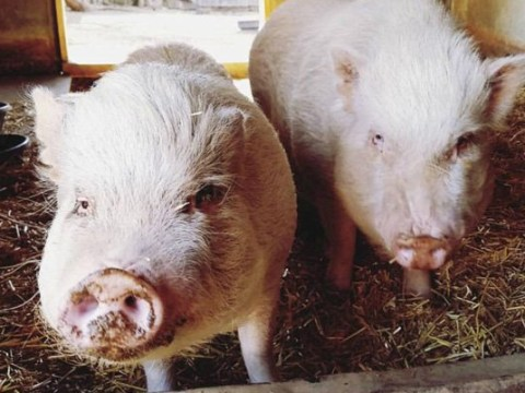 Two pigs who were once used for cruel experiments now live happily on a farm