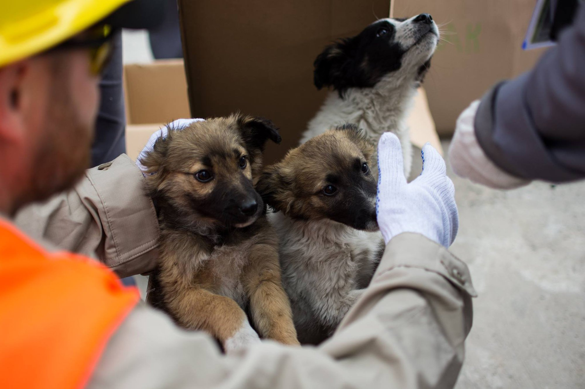 """Pics shows: First 12 dogs brought out of local zone; These adorable stray puppies have been rescued after they were born on the contaminated site of the Chernobyl nuclear power plant and are to be sent to new homes in the US. The 12 little dogs are currently undergoing radiation monitoring and are due to be sent to the US where they will be adopted by kindhearted families in July. They will first spend 45 days in quarantine at a shelter in the city of Slavutych in northern Ukraine, which was purpose built for evacuated workers from the plant. Specially trained instructors are in charge of the daily care of puppies, while at weekends members of the public can visit and play with animals. Lucas Hixson, co-founder of the Clean Future Fund which is behind the rescue operation, said: """"Today we take 12 puppies out of the local area. In total, we want to take out about 200 puppies for adoption by families."""" The Clean Future Fund has also raised nearly 53,000 USD (40,000 GBP) which will be used to buy rabies vaccines and other medical supplies for more than 500 animals. There are also plans to sterilise as many stray dogs in the area as possible in a bid to reduce the stray dog population around Chernobyl. More than 30 years after the 1986 disaster, nobody is allowed to live in the exclusion zone around the site which lies near the Ukrainian city of Pripyat. Evacuated families were not allowed to take their pets with them and more than 250 are still living in the former plant while hundreds more are said to live nearby. Mainly descendants of those left behind after the nuclear disaster, they have learned to survive in the woods around the exclusion zone. Not only must they endure harsh Ukrainian winters with no shelter, but they often carry increased levels of radiation and few live beyond the age of six."""