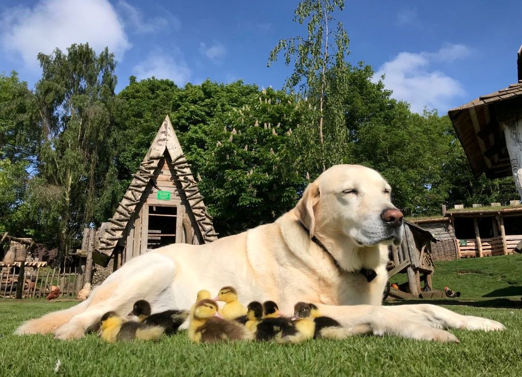 Fred the Labrador with his brood of adopted ducklings