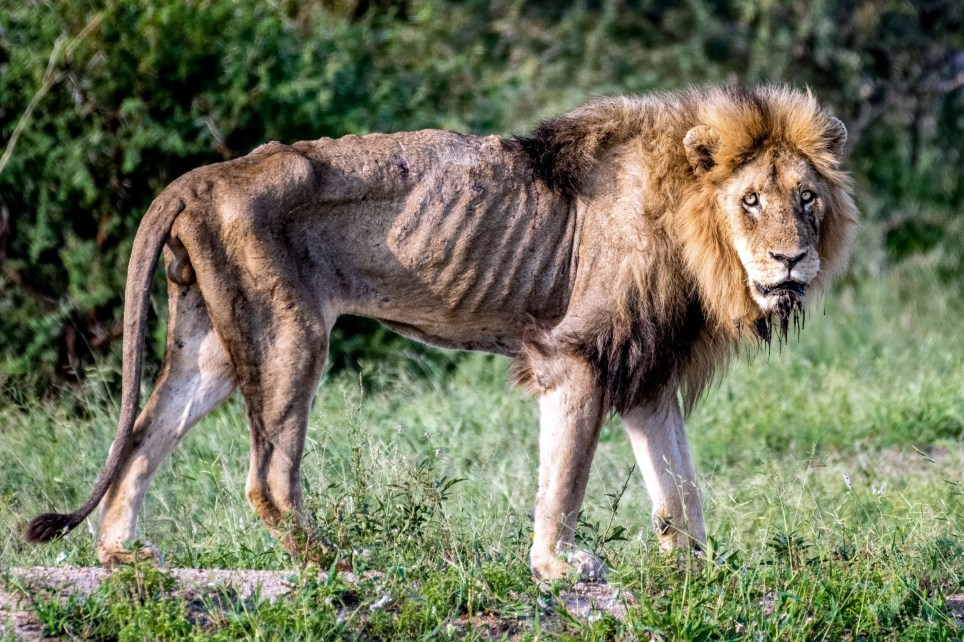 **MANDATORY BYLINE** PIC FROM Larry Pannell / Caters News - (PICTURED: Heartbreaking images showing a lions final days in Kruger National Park, South Africa.PIC TAKEN ON 26/03/18) - These heart-breaking images show the final days of alionwho was once king of his land.Now, hes been kicked out of his pride and has grown thin from the protection and food that his family used to provide. Thelion, known as Skybed Scar, Is well known in Kruger National Park, South Africa where he was pictured.SEE CATERS COPY