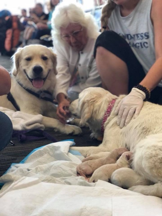 Credit: facebook.com/FlyTPA Source: https://www.facebook.com/FlyTPA/ Ruff day for this mama at Airside F today! Eleanor Rigby, a golden retriever service dog, was about to board a plane to Philly when she went into labor at Gate 80. Our Tampa Fire Rescue ARFF (no pun intended) paramedics were on hand to aid the successful deliver of eight pups ??? seven males, one female.