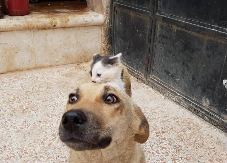 Orphaned kitten is adopted by a dog who lost her entire litter