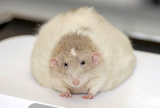 """** EMBARGOED UNTIL 00.01 ON THURSDAY, MAY 31 ** This """"monster"""" rat is set to lose half its body weight in a pet-slimming competition - after weighing in at just below one KILOGRAM. See SWNS story SWFAT; The enormous jumbo rat, whose weight has earned him the nickname Mr T, tips the scales at a whopping 0.975kg (2.1lb) - largely owing to his passion for porridge. The pet, from Neath, south Wales, will now go head-to-head with 12 porky cats and dogs from around the country in the ultimate pet weight-loss challenge - PDSA Pet Fit Club. Mr T needs to lose 0.475kg, (or 1lb), to slim down to his ideal weight of half a kilogram/1lb."""