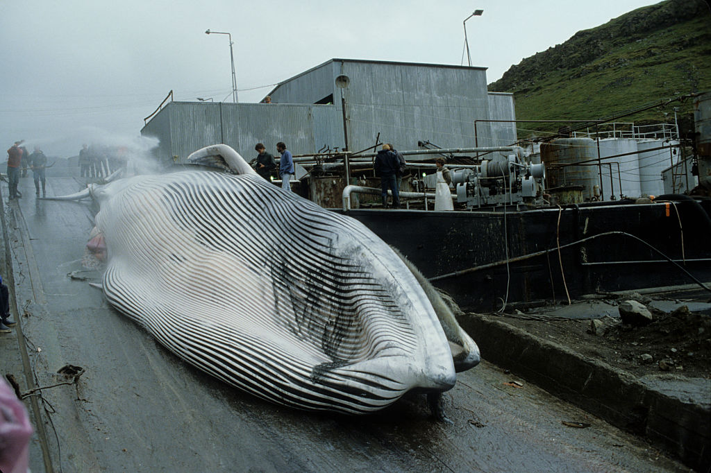 The whaling is highly controlled in Iceland. Fishermen respect their quotas, but do not intend to abandon a centuries-old tradition. In the smell of death, heirs of the Vikings carve huge steaks in the flesh of whales, mainly for meat and oil, to answer consumer needs and cosmetics industry. (Photo by COLLART Hervé/Sygma via Getty Images)