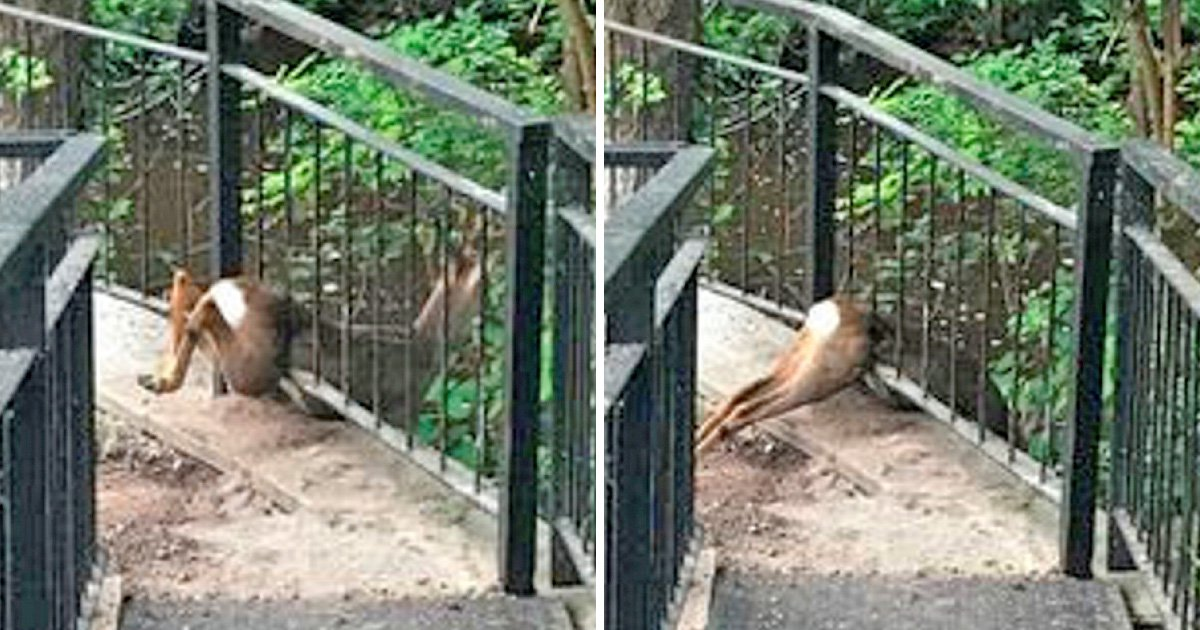Adorable deer gets itself stuck between railings trying to run to the woods