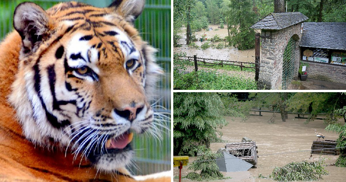 Lions, tigers, jaguar and bear escape zoo after floods wash away fencing