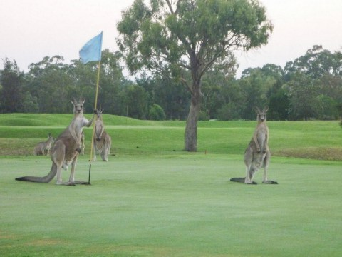Mob of kangaroos go crazy on golf course
