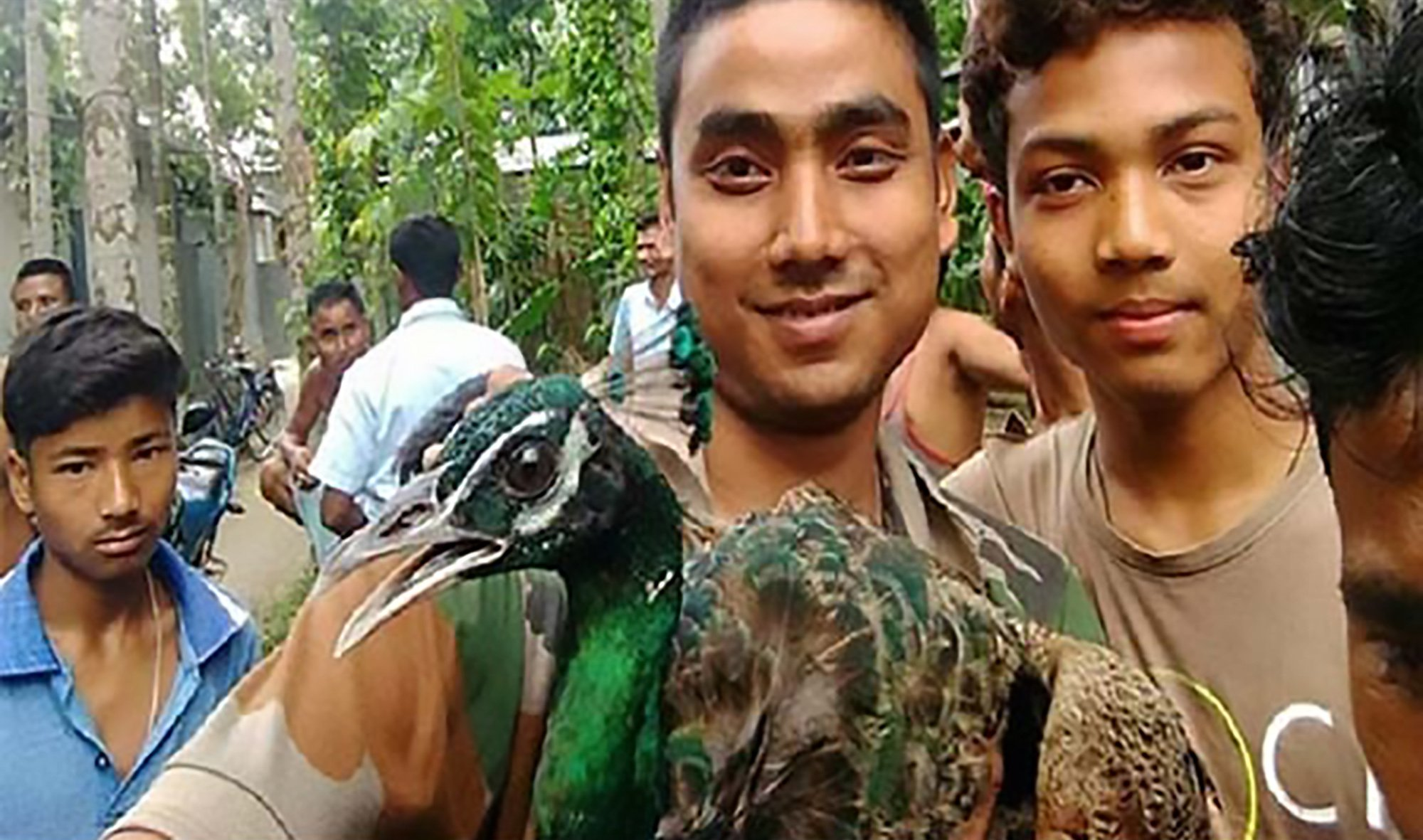 """Pics shows: The villagers pulled the peacock by the feathers for selfies; A peacock has died after locals manhandled it so that they could take selfies with the striking bird. The incident occurred in the city of Jalpaiguri in the north-eastern Indian state of West Bengal. The peacock is the national bird of India. Jalpaiguri wildlife warden Seema Chowdhury told local media: """"We are investigating to find out what happened. What the villagers did was obviously not right. We are also trying to find out how the bird fell ill."""" Chowdhury has confirmed that police and forest department officials have launched a probe into the peafowl???s death. According to reports, the bird innocently strutted into a busy area of town and triggered a frenzy among selfie-hunting locals. Residents allegedly spread its plumage apart and pulled its legs in an attempt to get it to fan its feathers. A police statement said that the peafowl died on the way to the police station and the bird???s body was handed over to Binnaguri wildlife workers. When probed about the incident, State Forest Minister Binay Krishna Barman told media that he was not aware of the case. The bird???s death is the latest in a worrying trend of people getting too close to wildlife for the sake of a selfie, often proving disastrous for both animals and humans. A man in Odisha???s Nabarangpur district tried to take a photo with an injured bear in the woods when the large mammal mustered enough strength to kill him on the spot. An elephant attacked and killed a tourist in November 2017 when he tried to pose with it by a roadside in Jalpaiguri."""