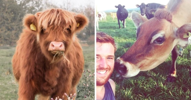 HOLY COW - Britian's sexiest cow has been revealed