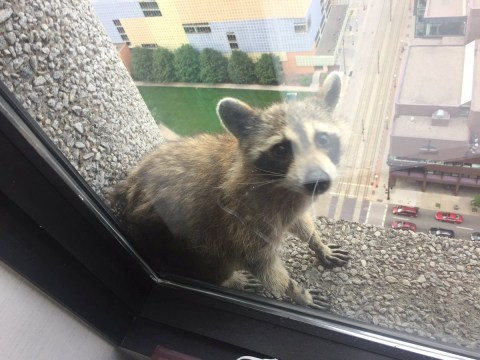 Raccoon who climbed office building and became a star is back in the wild