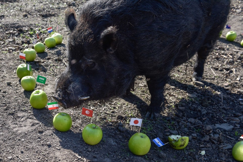 There's a pig called Mystic Marcus and he's got 100% world cup