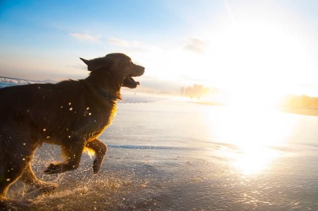 Happy dog running on the beach in Rio.