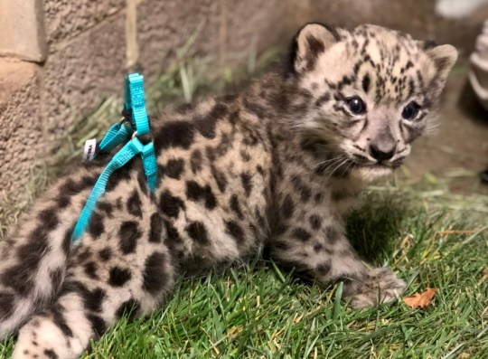 An adorable snow leopard cub with splayed legs is undergoing intensive physical therapy to help it learn how to walk. See SWNS story NYLEOPARD; The six-week-old old cub was born with defects affecting its eyes and chest and causing it to develop noticeably splayed rear legs. The abnormal growth, known as swimmers syndrome in cats and dogs, means the cub has mobility issues and is currently undergoing therapy to correct the defect. Cute footage shows the tiny male, born at Sacramento Zoo in California on May 6 to mom-of-one Misha, five, taking wobbly baby steps. To help the cub position its rear legs beneath him while working, experts use a rubber harness to lift its hips and provide support. The cub is then placed onto surfaces with good traction, such as grass or high-friction rubber flooring, to help it get grip as it learns to walk. The treatment is part of a plan crafted by the zoo in conjunction with specialists from the UC Davis School of Veterinary Medicine to treat the cub.
