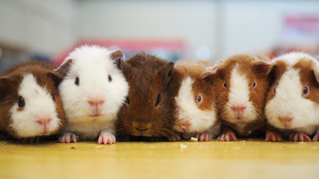 Lots of lovely guinea pigs