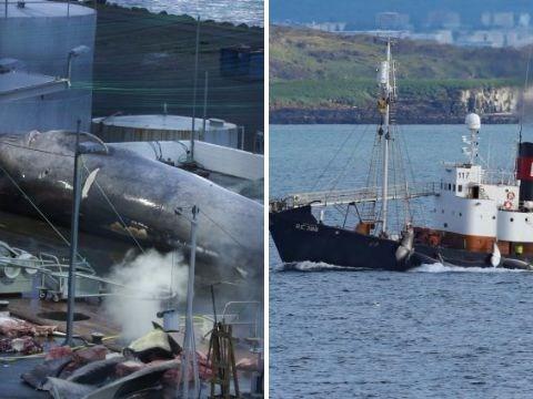 Whalers butcher ultra rare hybrid but will escape punishment