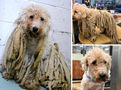 Dog gets much-needed haircut after arriving in shelter covered in 5lb of matted dreadlocks