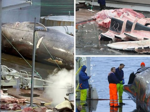 Rare whale harpooned 'by mistake' – but company say it could happen again