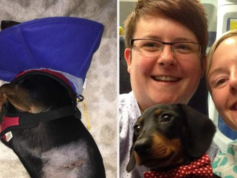 Owners of dachshund mauled in vicious attack call for stronger dog-on-dog attack laws