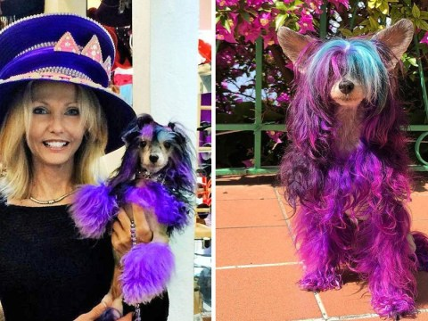 Woman insists her dog Sheeba loves her purple and blue highlights