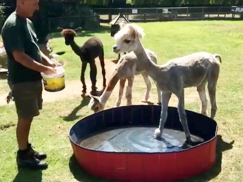 Alpacas cool off from the heatwave in a tiny paddling pool